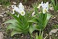 Iris magnifica in Jardin des Plantes 01.jpg