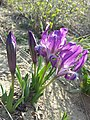 Iris pumila sl22.jpg