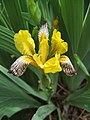 Iris variegata 1.jpg