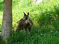 Isard jeune Argelès-Gazost parc animalier (2).JPG