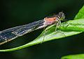 Ischnura elegans f. rufescens-pjt3.jpg