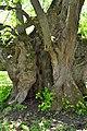 Ivanchytsi Rozyshchenskyi Volynska-Ivanchytsivska lypa nature monument-details-2.jpg
