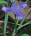 J20160411-0128—Iris thompsonii—RPBG (26389007346).jpg