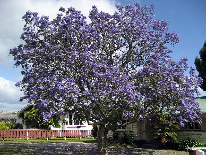 Garden of the giants world 39 s most colorful trees for Planta ornamental jacaranda