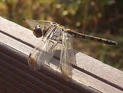 Jamjari, dragonfly in Korea.jpg