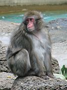 Japanese Macaque1.jpg