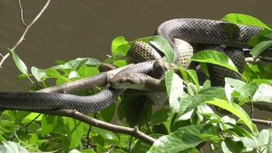 File:Japanese rat snakes (Elaphe climacophora) mating.webm