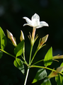 Jasminum officinale jd Bout.png