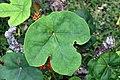 Jatropha podagrica 14zz.jpg