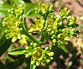 Jatropha sp. - female flowers (4669383620).jpg