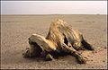 Jednogrba deva (lat. Camelus dromedarius) 1985. Zapadni Veliki Erg.jpg