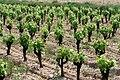 Jeunes vignes à Saint-Geniès-de-Comolas.jpg