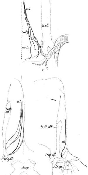 Terminal nerve - Image: Johnston Cranial nerve 0