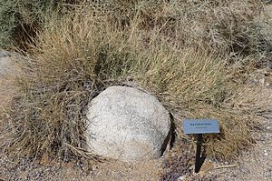Joshua Tree National Park - Big Galleta Grass (Pleuraphis rigida).JPG
