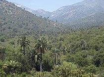 Jubaea chilensis (scott.zona) 001.jpg