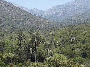Chilean Matorral - Matorral scene in Cerro La Campana with Chilean palm trees