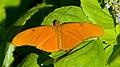 Julia Butterfly 1 (7974490539).jpg