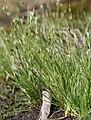 Juncus bufonius plant (14).jpg