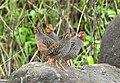 Jungle Bush Quail Perdicula asiatica by Dr. Raju Kasambe DSCN7340 (4).jpg