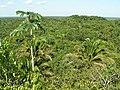 Jungle view from Lamanai Temple - panoramio.jpg