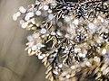 Juniper in a Slovenian Garden (23261440644).jpg