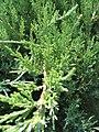 Juniperus chinensis Hetzii Glauca 1zz.jpg