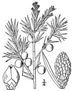 Juniperus communis drawing.png