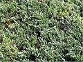 Juniperus horizontalis 0zz.jpg