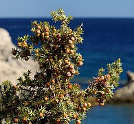 Juniperus macrocarpa. Rhodes. Greece.jpg