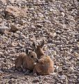 Juvenile Nubian ibex (50824).jpg