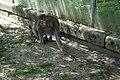 Känguru in Staub fast hockend, Zoologischer Garten Hof 08062019.jpg