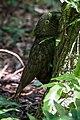 Kākā fledgling clinging to base of tree.jpg
