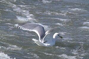 Kumlien's gull - Image: KUG Ua