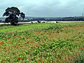 Kale with Poppies - geograph.org.uk - 531661.jpg
