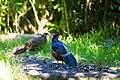 Kalij pheasant (30511410212).jpg