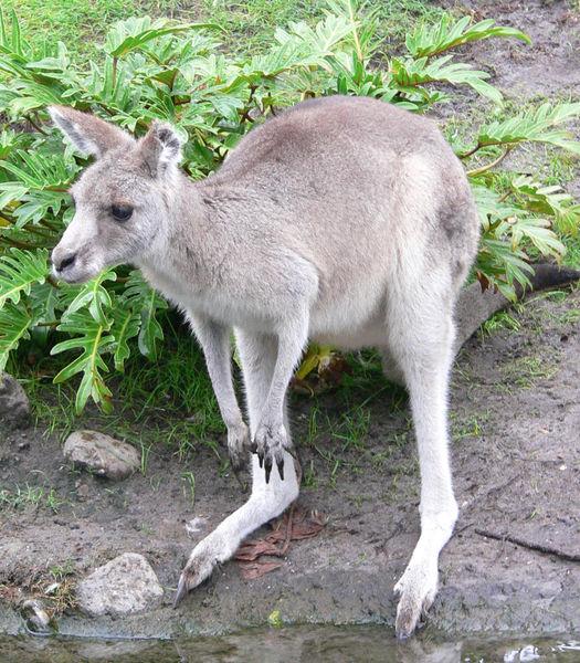 Fișier:Kangaroo1.jpg