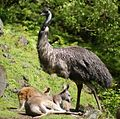 Kangaroo & Emu at Auckland Zoo - Flickr - 111 Emergency.jpg