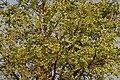 Kanju (Holoptelea integrifolia) with fruits W IMG 5868.jpg