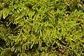 Kindbergia praelonga 104211451.jpg