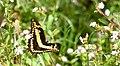King Swallowtail (Papilio thoas) (26875587058).jpg