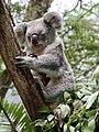 Koala (32079639885).jpg