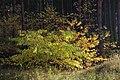 Korina 2013-10-22 Prunus serotina 4.jpg