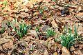 Kvetoucí sněženky v PP Sněženky ve Vysokém lese 34.jpg