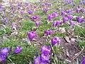 Kwiaty w parku Rataje w Poznaniu - marzec 2019 - 1.jpg