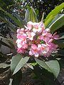 Lírios branco e rosa.jpg