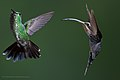 L-R Green-crowned Brilliant (Heliodoxa jacula) with Green Hermit, Phaethornis guy, Hummingbird.jpg