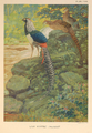 Lady Amherst Pheasant by Charles Knight.png