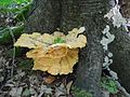 Laetiporus sulphureus a3.jpg