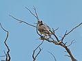 Lanner Falcon (Falco biarmicus) (7011298343).jpg