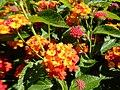 Lantana camara 'Luscious Citrus Blend', Morris Arboretum 01.jpg